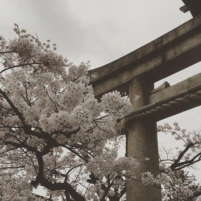 いつもお世話になってる小汐井神社さん。満開です
