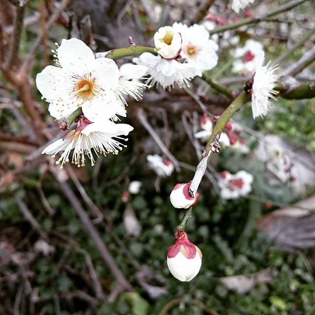 ちょっとずつ#梅の花#滋賀#近づく春#ヒノリヨガスタジオ