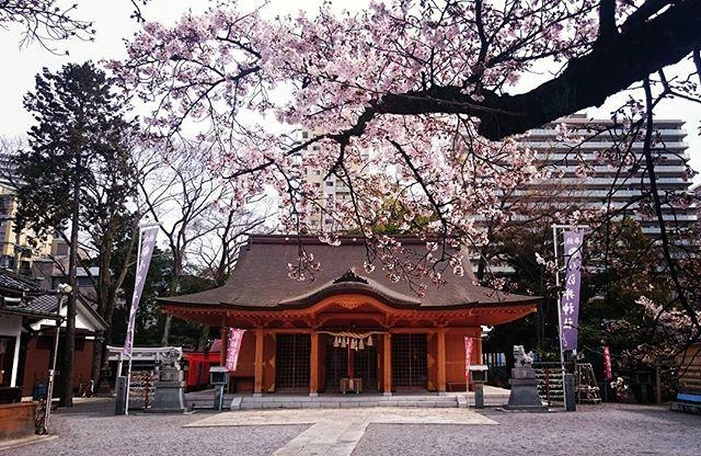 春#小汐井神社#桜#滋賀#草津#ヒノリヨガスタジオ